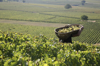 harvest-vendanges-chardonnay-1.jpg